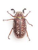 Brown beetle with white spots. Royalty Free Stock Photography
