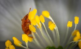 Brown Beetle on Yellow Petaled Flowers Royalty Free Stock Photos