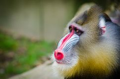 Brown and Beige Baboon Stock Images