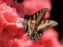 Brown Beige and Black Butterfly on Pink Petaled Flower stock image