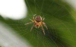 Brown and Beige Spider Royalty Free Stock Photos