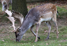 Brown and beige stag grazing at Charlecote Park Royalty Free Stock Photography