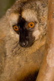 brown beklädd lemurred Arkivbild