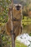 brown beklädd lemurred Arkivfoton