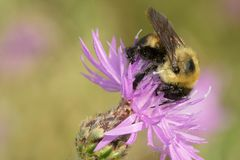 Brown-belted Bumble Bee - Bombus griseocollis. Brown-belted Bumble Bee collecting nectar from a Spotted Knapweed flower. The Portlands, Toronto, Ontario, Canada royalty free stock image