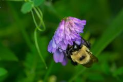Brown-belted Bumble Bee - Bombus griseocollis. Brown-belted Bumble Bee collecting nectar from a Tufted Vetch flower. The Portlands, Toronto, Ontario, Canada stock image