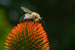 Brown-belted Bumble Bee - Bombus griseocollis. Brown-belted Bumble Bee collecting nectar from a Purple Coneflower. Rosetta McClain Gardens, Toronto, Ontario royalty free stock photos