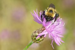 Brown-belted Bumble Bee - Bombus griseocollis. Brown-belted Bumble Bee collecting nectar from a Spotted Knapweed flower. The Portlands, Toronto, Ontario, Canada stock photo