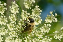 Brown-belted Bumble Bee - Bombus griseocollis. Brown-belted Bumble Bee collecting nectar from a Wild Carrot flower. The Portlands, Toronto, Ontario, Canada stock images