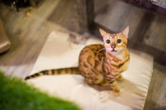 Brown Bengal Cat. Sitting Looking up Royalty Free Stock Image