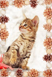 Brown bengal kitten with pinecones Stock Photo