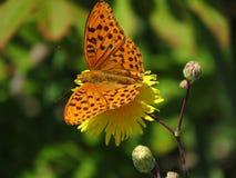 Brown beschmutzte Schmetterling auf gelber Blumennahaufnahme Lizenzfreie Stockfotografie