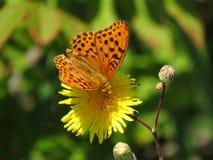 Brown beschmutzte Schmetterling auf gelber Blumennahaufnahme Lizenzfreies Stockfoto