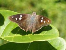 Brown beschmutzte Schmetterlings-Länder auf einem Blatt Stockbilder