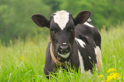 Brown beschmutzte Stier unter frischem grünem Gras Stockbilder