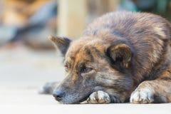 Brown bezdomny Tajlandzki psi dosypianie na podłoga Fotografia Royalty Free
