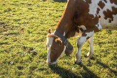 Brown biała łaciasta krowa obrazy royalty free