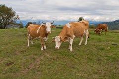 Brown białe krowy na paśniku Fotografia Stock