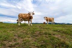 Brown białe krowy na paśniku Zdjęcie Stock