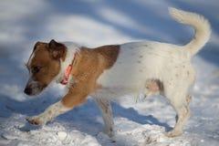 Brown bianco sveglio Jack Russell Terrier Dog Walking su una neve Fotografie Stock Libere da Diritti