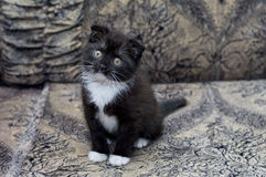 Brown bicolor Scottish kitten sitting on the couch Stock Photography