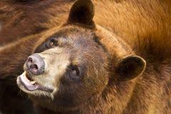 Brown Big Bear Royalty Free Stock Image