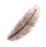 Brown big feather Stock Image