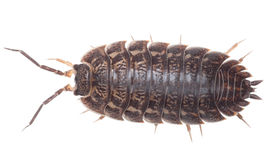 Brown big wood louse - Porcellio scaber Stock Photo