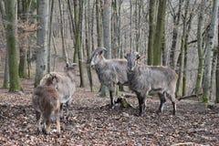 Brown billy kózki w lesie w Niemcy fotografia royalty free