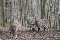 Brown billy kózki w lesie w Niemcy zdjęcie stock