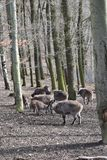 Brown billy kózki w lesie w Niemcy obraz stock