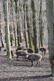 Brown billy kózki w lesie w Niemcy obrazy stock