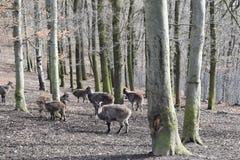 Brown billy kózki w lesie w Niemcy zdjęcie royalty free