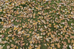Brown birch tree leaves on green grass autumn. The leaves are falling displaying the beautiful colors stock image