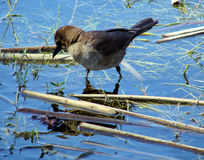 Brown bird. This is a tiny warbler,that I see often at lake taylor n largo florida stock image