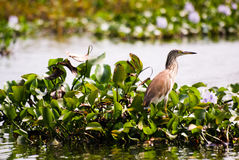 A brown bird in the backwaters of Kerala. A brown bird among the leaves in a pond of the Kerala Backwaters Royalty Free Stock Photography