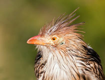 Brown bird with a bad hair day Stock Image