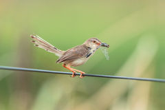Brown bird eating dragonfly. In Meadow Stock Photos