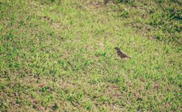 Brown Bird on Grass Lawn stock images