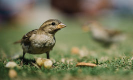 Brown Bird on Green Grass Royalty Free Stock Image