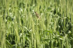 Brown Bird on Green Wheat Stock Photography