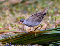 Brown bird in lagoons. Stock Images