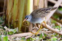 Brown bird in lagoons. Royalty Free Stock Images