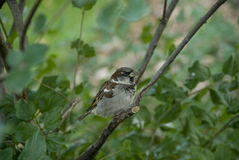 Brown bird on a limb. Brown bird with white breasts resting on a tree limb royalty free stock photos