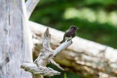 Brown bird. Bird on log Santa Cruz California Royalty Free Stock Photography