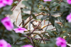Brown bird among many branches and pink flowers Stock Image