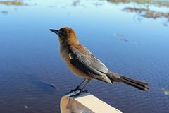 Brown Bird Perched Above Sunny Everglades Water. One small brown bird, a boat-tailed grackle on the edge of a boat close-up in an Everglades Florida waterway royalty free stock photo