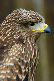 Brown bird of prey Stock Photos