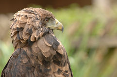 Brown bird of prey. Close up view of a stern, bird of prey royalty free stock images