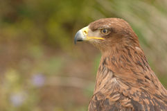 Brown bird of prey. A close up profile of a brown bird of prey stock photography